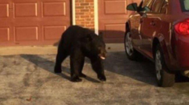 bear-in-indiana1